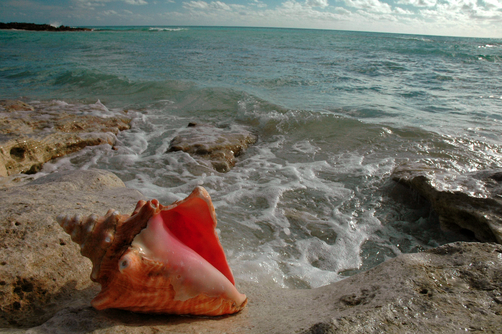 MEDFORD TAYLOR: A queen conch shell lying on a beach. (Kagyló a parton)